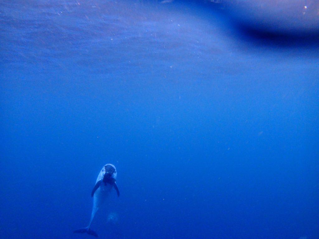 御蔵島でドルフィンスイム